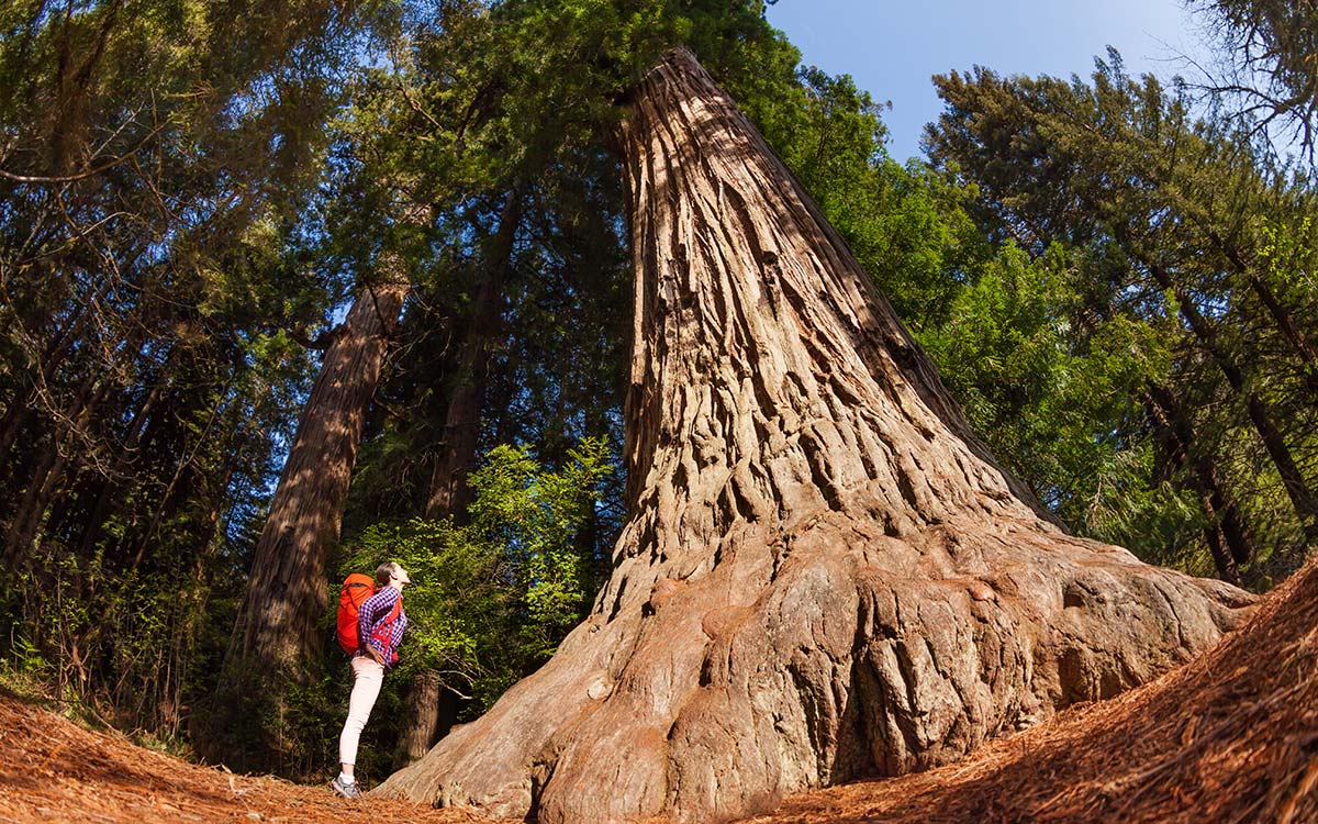 Girl looking at big, old tree in a forest in Redwood, California