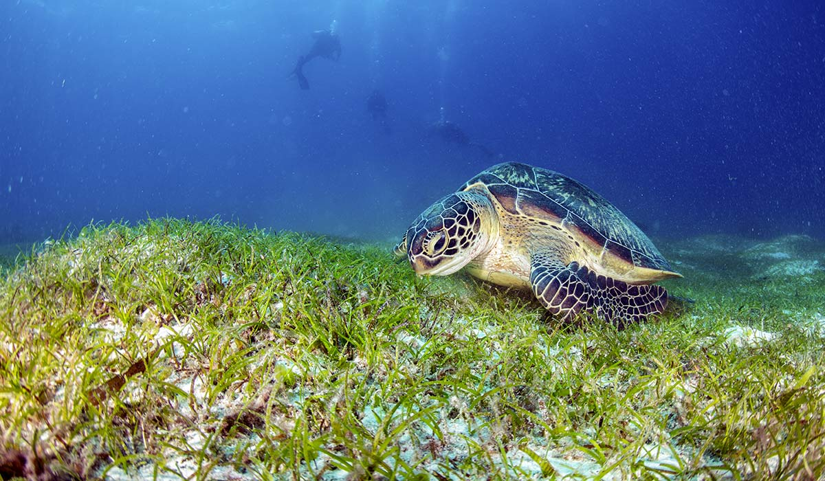 Turtle eating seagrass