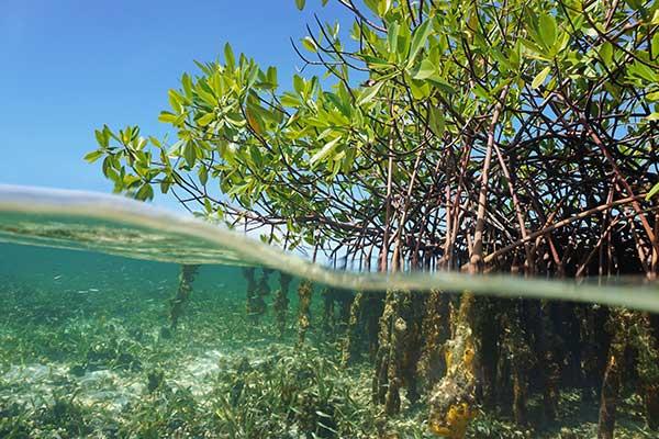 Mangrove blue carbon ecosystem